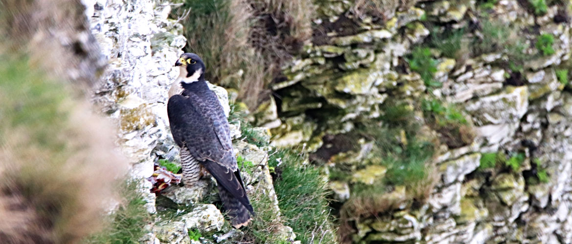 Peregrine Falcon at Bempton