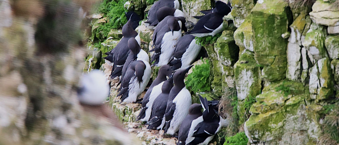 Guillemots at Bempton